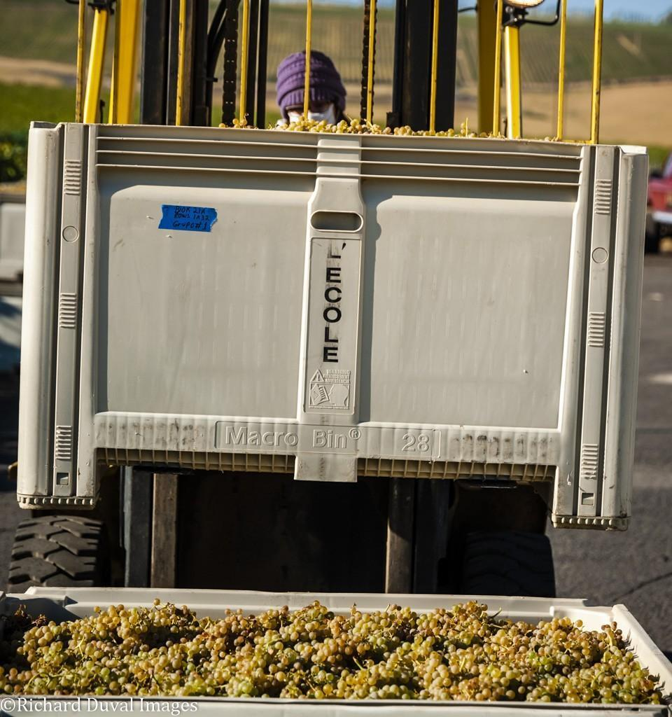 sadie drury north slope management seven hills vineyard semillon bin 09 08 2020 - VineLines Dispatch: Harvest of Walla Walla Valley