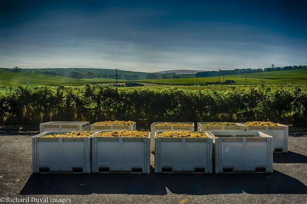 seven hills vineyard semillon bins 09 08 2020 - VineLines Dispatch: Harvest of Walla Walla Valley