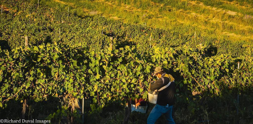 syrah harvest seven hills vineyard 09 08 2020 - VineLines Dispatch: Harvest of Walla Walla Valley