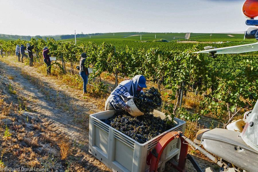 syrah seven hills vineyard bin dump harvest 09 08 2020 - VineLines Dispatch: Harvest of Walla Walla Valley