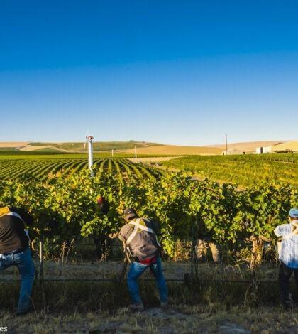 trio pickers syrah seven hills vineyard 09 08 2020 420x470 - VineLines Dispatch: Harvest of Walla Walla Valley