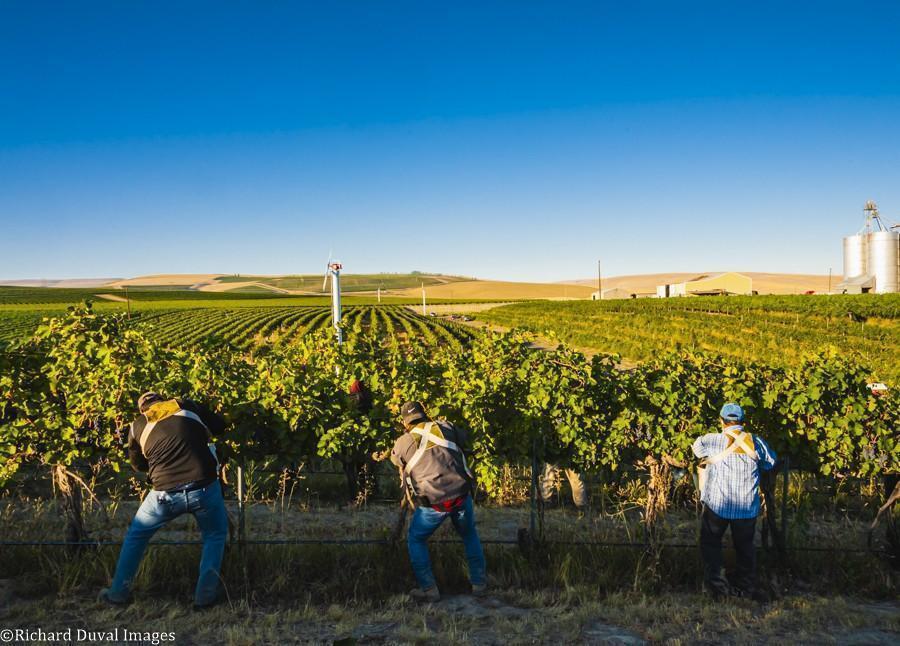 trio pickers syrah seven hills vineyard 09 08 2020 - VineLines Dispatch: Harvest of Walla Walla Valley