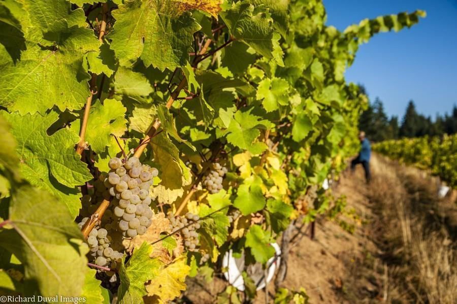 underwood mountain vineyards riesling 10 05 20 4189 richard duval images - VineLines Dispatch: A Gorgeous look at harvest