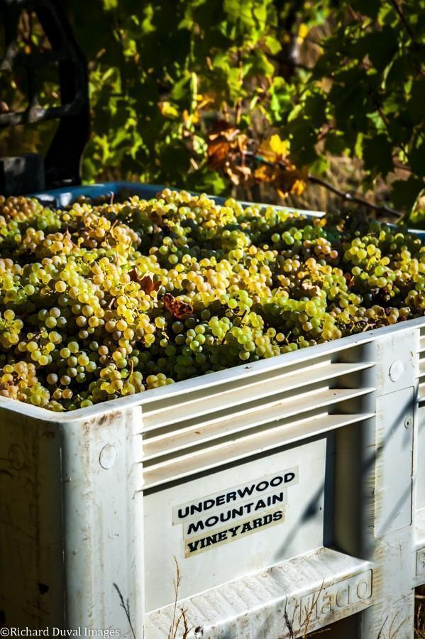 underwood mountain vineyards riesling bin 10 05 20 4158 richard duval images - VineLines Dispatch: A Gorgeous look at harvest