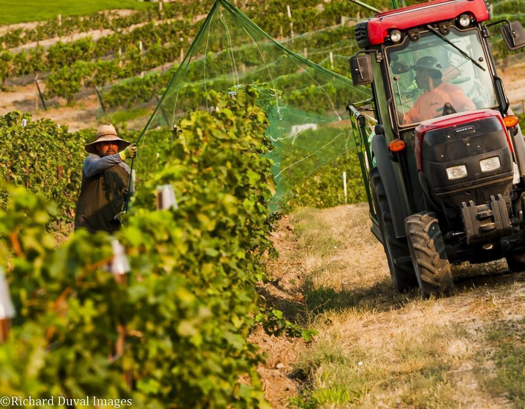 windrow vineyard netting - VineLines Dispatch: Harvest of Walla Walla Valley