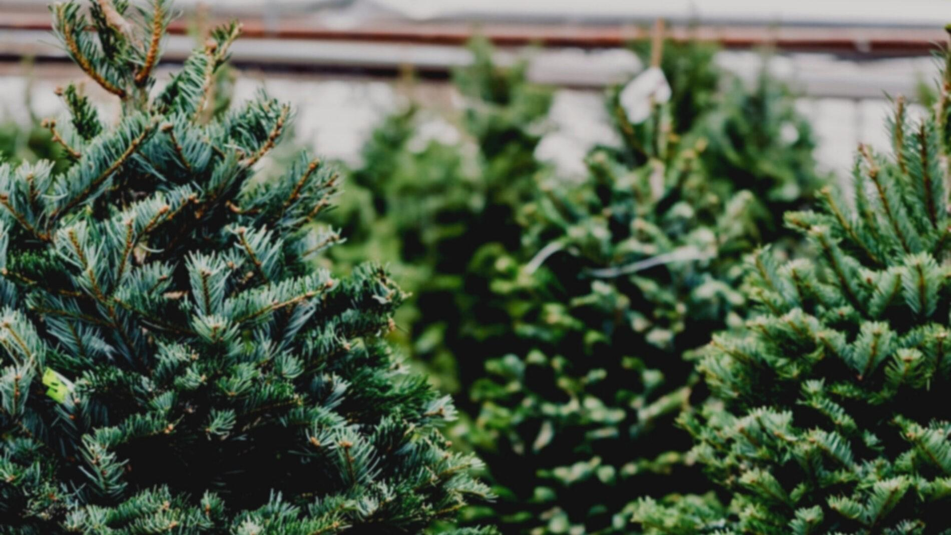 Christmas Trees yZ4Rix.tmp  - Thanksgiving Weekend – Holiday Wine Sales & Christmas Trees